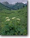 Stock photo. Caption: Cow parsnip and Purple Mountain Slate River Valley Gunnison National Forest Rocky Mountains,  Colorado -- rockies flower flowers wildflower wildflowers united states america summer landscape landscapes meadow meadows mountain Heracleum lanatum sweet abundance free green lush high rockies stormy storm abundant