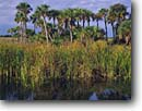 Stock photo. Caption: Cattails and sable palms Big Cypress Swamp Big Cypress National Preserve Collier County,  Florida -- united peaceful calm palm trees morning deep south southern southeastern states america swamps landscape landscapes reserves wetland wetlands endangered environment grove groves winter habitat cloudy water scenics scenic preserves