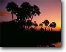 Stock photo. Caption: Sable Palms Big Cypress Swamp Fakahatchee Strand State Reserve Collier County,  Florida -- united peaceful calm palm trees morning deep south southern southeastern states america swamps landscape landscapes reserves wetland wetlands endangered environment grove groves sunrise sunrises habitat scenic scenics silhouette silhouettes