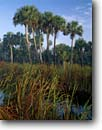 Stock photo. Caption: Cattails and sable palms Big Cypress Swamp Fakahatchee Strand State Reserve Collier County, Florida -- united peaceful calm palm trees morning light mist mists deep south southern southeastern states america swamps landscape landscapes reserves tree sunny blue skies winter wetland wetlands environment habitat endangered swampy water scenics scenic