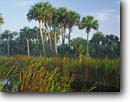 Stock photo. Caption: Cattails and sable palms Big Cypress Swamp Fakahatchee Strand State Reserve Collier County,  Florida -- united peaceful calm palm trees morning deep south southern southeastern states america swamps landscape landscapes reserves wetland wetlands endangered environment grove groves tree sunny blue skies winter  habitat endangered swampy water scenics