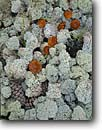 Stock photo. Caption: Reindeer lichen   and lactarius sp. fungi Gulf Islands National Seashore Gulf of Mexico,  Florida -- united states america south southeast southeastern deep southern parks lichens cones seashores detail details closeup closeups mushroom mushrooms toadstool toadstools background backgrounds