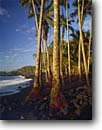 Stock photo. Caption: Coconut palms Kaimu Black Sands Beach Kalapana,  Puna Island of Hawaii,  Hawaii -- travel tourist destination destinations tropical historic hawaiian islands landscape landscapes family vacation warm palm tree trees coastline ocean hawaiian survivor tenacity idyllic roots root beaches blue skies sunny clear lined coastal scenics scenes