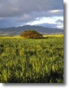 Stock photo. Caption: Sugar cane fields   near Olokele Island of Kauai Hawaii -- Sugar cane fields field agriculture farm farming farms crop crops hawaiian islands winter winter crops overcast cloudy pastoral rural tropical tropics warm weather landscape landscapes scenic scenics