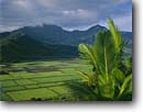 Stock photo. Caption: Alexandra palm and taro fields Hanalei National Wildlife Refuge Island of Kauai Hawaii -- tropical farming farm field rural islands agriculture united states america pacific ocean bountiful patches palms mountains mountain  destination destinations abundance irrigation irrigated refuges hawaiian