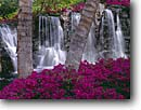 Stock photo. Caption: Bougainvillea   and coconut palms Island of Maui Hawaii -- united states america tropical plants plant hawaiian flowers flower parks  lush rainforest rain forest temperate waterfall waterfalls palm trees idyllic landscape landscapes scenic vacation leisure travel destination destinations tourist attraction