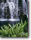 Stock photo. Caption: Ferns and waterfall Wailea Island of Maui Hawaii -- united states america tropical plants plant hawaiian parks lush rainforest rain forest temperate waterfall waterfalls vacation leisure travel destination destinations tourist attraction fern cool inviting refreshing clean clear fresh