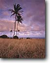 Stock photo. Caption: Coconut palms at sunset Hamoa Island of Maui Hawaii -- united states america tropical silhouette silhouettes hawaiian tourist destination travel destinations palm trees tree ocean shoreline classic sunsets landscape landscapes horizon scenic scenics oceans romantic vacation tropics vacations
