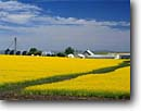 Stock photo. Caption: Mustard fields   near Grangeville Idaho County Idaho -- agriculture farm farms farming field yellow barn abundance united states pacific america northwest flowers crop crops fallow building buildings silos silo grain summer clear sunny growing scenics landscapes landscapes with barns barn