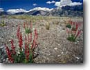 Stock photo. Caption: Penstemon and Borah Peak Lost River Range Challis National Forest Rocky Mountains,  Idaho -- united states america landscape landscapes clear scenic scenics scene mountains flowers flower wildflower wildflowers spring rockies snow capped peaks forests penstemons