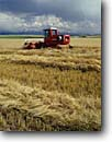 Stock photo. Caption: Windrowing barley near Ashton   and the Grand Tetons Idaho -- united states america rural ranch ranching ranchland fall autumn bountiful pastoral pastures field fields windrower windrowers tractor tractors agricultural land lands grain mountian background harvest mowing people stubble landscape landscapes scenic