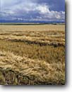 Stock photo. Caption: Windrowing barley   near Ashton   and the Grand Tetons Idaho -- rural ranch ranching ranchland fall autumn bountiful pastoral pastures field fields windrower windrowers agriculture agricultural land lands grain mountian background harvest mowing stubble landscape landscapes scenic scenics mountains majesty