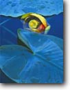 Stock photo. Caption: Yellow pond lily in Spring Basin White Cloud Peaks Sawtooth National Recreation Area Challis National Forest,   Idaho -- Keywords: united states america rocky rockies ponds subalpine summer areas lakes lilies nuphar luteum closeup detail details closeups flower flowers lily pad pads