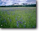 Stock photo. Caption: Common blue camas and American bistort Sawtooth National Recreation Area Sawtooth Mountains Rocky Mountains, Idaho -- landscape landscapes scenic scenics scene attraction attractions destination destinations rockies peaks summer travel tourist vacation wild nature areas forests ranges    snowcapped peak wildflower wildflowers flower flowers Camassia quamash breviflora