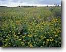 Stock photo. Caption: Hayden Prairie State Preserve Howard County Iowa -- landscape landscapes scenics scenic  united states america flowers flower preserves native plants plant grasses greass habitat grasland grasslands virgin prairies tract summer remnant sunflowers sunflower wildflowers wildflower