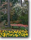 Stock photo. Caption: Tulips and dogwoods Main Garden Hodges Gardens Many,  Louisiana -- formal public flowers walkway path paths pathway pathways flower summer walkways manicured landscaping gardening bench benches trail trails tulip dogwood spring leisure calm serene rest restfull restful flower blooming beautiful spectacular color sweet