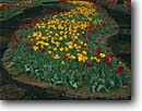 Stock photo. Caption: Tulips Main Garden Hodges Gardens Many,  Louisiana -- garden formal public flowers flower manicured landscaping gardening united states america tulip creek creeks stonework stoneworks water feature features spring yellow contrast color attraction attractions tourist colors