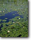 Stock photo. Caption: Fragrant water-lily Acadia National Park Mount Desert Island Maine -- united states america background backgrounds artistic nature color colours colour parks lilies pads flower flowers wildflower wildflowers pond ponds detail details circle circles round Nymphaea odorata