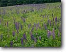 Stock photo. Caption: Lupines Acadia National Park Mount Desert Island Maine -- parks detail new england northeast northeastern united states america lupine flower flowers meadow meadows islands wildflowers wildflower spring lupinus