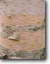 Stock photo. Caption: Birch bark Sieurs de Monts Spring Acadia National Park Mount Desert Island,  Maine -- parks detail tree trees rough texture peel peeling wood strip new england northeast northeastern united states america detail closeup closeups texture textures