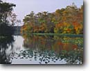 Stock photo. Caption: Bald Cypress swamp Nassawango Creek Worchester County Maryland -- forest forests soft second growth united states america travel vacation destination cypresses native trees tree northeastern swamps wetland wetlands fall autumn boggy sunny clear skies blue swampy pond lillies lily plants flora plant