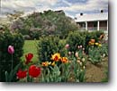 Stock photo. Caption: Carroll County Farm Museum Westminster Maryland -- americana nostalgic nostalgia united states america historic building buildings landscape landscapes museums scenic scenics american history farms garden gardens tulips tulip spring home homes houses houses exhibit exhibits