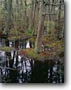 Stock photo. Caption: Atlantic white cedar swamp Marconi Station Area Cape Cod National Seashore Massachusetts, New England -- cedars swamps areas seashores trails  fall autumn northeast northeastern united states america landscape landscapes marsh marshes wetland wetlands interpretive forest forests Chamaecyparis thyoides