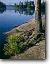 Stock photo. Caption: Cherokee Lake Boundary Waters Canoe Area Superior National Forest Minnesota -- pine pines lakes united states america summer north woods landscape landscapes backcountry wilderness wildernesses shoreline lakeshore roots root lakeshores rocky midwest midwestern