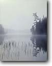 Stock photo. Caption: White pine,  Long Island Lake Boundary Waters Canoe Area Superior National Forest Minnesota -- united states america midwest great lakes lake wildernesses wildeerness parks canoeing forests moody misty foggy ethereal solitude wilderness wild landscape landscapes quiet reflection reflections