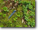 Stock photo. Caption: Blue jay feather,  Seagull Lake Boundary Waters Canoe Area Superior National Forest Minnesota --  united states america detail details mossy mosses forest floor feathers jays birds bird Cyanocitta cristata