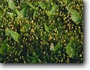 Stock photo. Caption: Haircap moss and   wild lily-of-the-valley Duluth Minnesota -- united states america detail  abstract mosses lilly lily lilies mossy canada mayflower maianthemum canadense details closeup closeups background backgrounds green