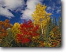 Stock photo. Caption: Mixed forest Moose Lake Township Carlton County Minnesota -- hardwoods forests northern fall autumn color tree trees sky clouds aspens maples upper midwest united states america landscape landscapes forests foliage red yellow orange blue sky skies sunny clear crisp