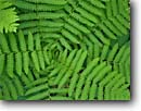 Stock photo. Caption: Interrupted fern Blacklock Nature Sanctuary  Moose Lake, Minnesota --   united states america backgrounds detail artistic nature green frond fronds pattern ferns patterns texture plant closeup background form forms design designs