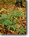Stock photo. Caption: Maidenhair fern Blacklock Nature Sanctuary   near Moose Lake Carlton County,  Minnesota -- united states america backgrounds detail artistic nature green frond fronds pattern ferns patterns texture plant closeup background floor forest autumn fall foliage leaves