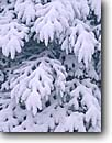 Stock photo. Caption: Balsam fir Moose Lake Carlton County Minnesota -- united states america snow fresh tree trees winter powder detail details midwest upper forest firs conifer conifers cold midwestern snowy laden branches wintery