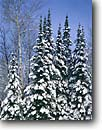 Stock photo. Caption: Balsam fir and quaking aspen Moose Lake Carlton County Minnesota -- united states america snow fresh tree trees winter powder midwest upper forest firs conifer conifers cold sunny landscape landscapes wintery laden fresh aspens