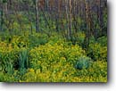 Stock photo. Caption: Bur marigold Moose Lake Carlton County Minnesota -- united states upper midwest midwestern wildflower wildflowers flowers america floral meadow meadows sticktight sticktights bidens cernua spring