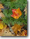 Stock photo. Caption: Red maple leaf on running ground pine Moose Lake Carlton County Minnesota -- united states america tree trees  midwest upper forest firs conifer conifers autumn fall detail details floor leaves needles fallen