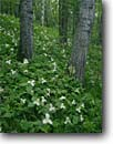 Stock photo. Caption: Large-flowered trilliums   near Lake 11 Pine County Minnesota -- united states upper midwest midwestern wildflower wildflowers flowers america floor forest floors forests trillium White Trillium grandiflorum forest scenic scenics spring