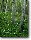 Stock photo. Caption: Large-flowered trilliums   near Lake 11 Pine County Minnesota -- united states upper midwest midwestern wildflower wildflowers flowers america floor forest forests trillium White Trillium grandiflorum spring