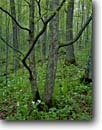 Stock photo. Caption: Large-flowered trillium Blacklock Nature Sanctuary Moose Lake Township Carlton County,  Minnesota -- united states america plant great lakes region wildflower wildflowers trilliums lily grandiflorum ferns forest floors floor spring habitat landscape landscapes woods