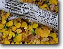 Stock photo. Caption: Paper birch log with yellow-bellied sapsucker holes and aspen leaves Blacklock Nature Sanctuary Carlton County,  Minnesota -- Moose Lake Township united states america closeup great lakes region forest floors floor artistic nature fall autumn fallen leaf habitat yellow design designs closeups decay decaying