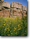 Stock photo. Caption: Sunflowers Blue Mounds State Park Rock County Minnesota -- united states upper midwest midwestern wildflower wildflowers flowers america floral meadow meadows prairie prairies native grasses quartzite summer  plant plants bloom parks