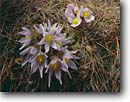 Stock photo. Caption: Pasqueflower McKnight Prairie near Northfield Rice County Minnesota -- united states america detail closeup  floor forest spring wildflower wildflowers flower flowers anemone patens prairies native white midwest plant plants bloom blooming pasqueflowers indiginous pasque purity clean crisp pure sweet midwestern delicate