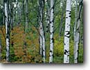 Stock photo. Caption: Aspen and mountain maple Oberg Mountain Superior National Forest Minnesota -- forests northern tree trees upper midwest united states america forests forest forests aspens maples fall autumn