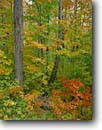 Stock photo. Caption: Sugar maples Ward Lake Road North Shore Lake Superior Minnesota -- forests northern tree trees upper midwest midwestern united states america forests forest autumn fall color colour colours colors Acer saccharum hardwood hardwoods