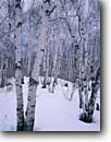 Stock photo. Caption: Birches on Palisade Head Lake Superior Tettegouche State Park Lake County,  Minnesota -- united states america midwest midwestern america  great lakes region tree trees deciduous solitude winter frozen snowy snow parks wintery trunk trunks