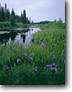Stock photo. Caption: Blue flag near Paradise Beach North Shore Lake Superior Cook County Minnesota -- united states america spring wildflower wildflowers flower flowers larger iris versicolor midwest great lakes region landscape landscapes irises blooming bloom plants living things green trees tree