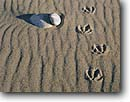 Stock photo. Caption: Canada goose tracks North Shore of Lake Superior   near Deer Park Minnesota -- united states america  midwest great lakes region  geese bird birds animal animals track artistic nature sand sandy rippled detail details canadian habitat waterfowl
