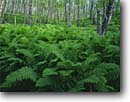 Stock photo. Caption: Interrupted ferns and paper birches North Shore Lake Superior Little Marais Township Minnesota -- united states america fern birch northern hardwood forest forests summer lush verdant landscape landscape green habitat floor midwestern midwest